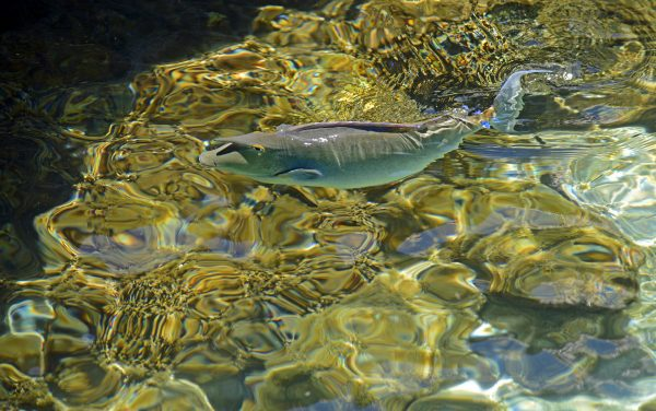 Ein Fisch in Huahine