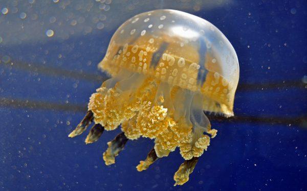 Ein Jellyfish