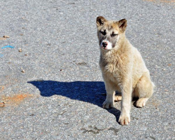 Ein Hundie in Ilulissat