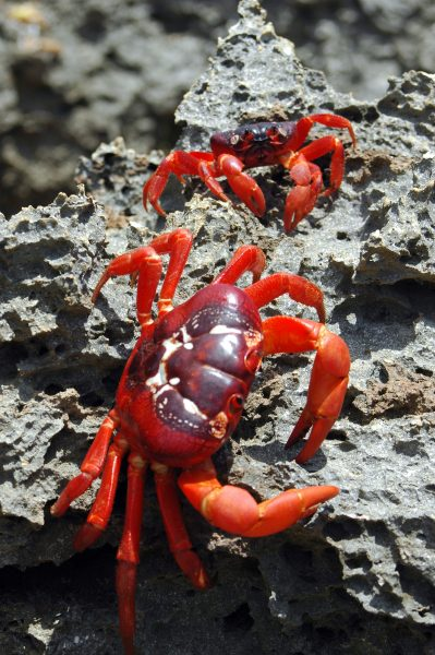 Zwei rote Christmas Island Crabs