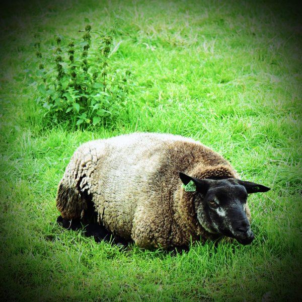 Ein Schaf im Freilichtmuseum Zaanse Schans
