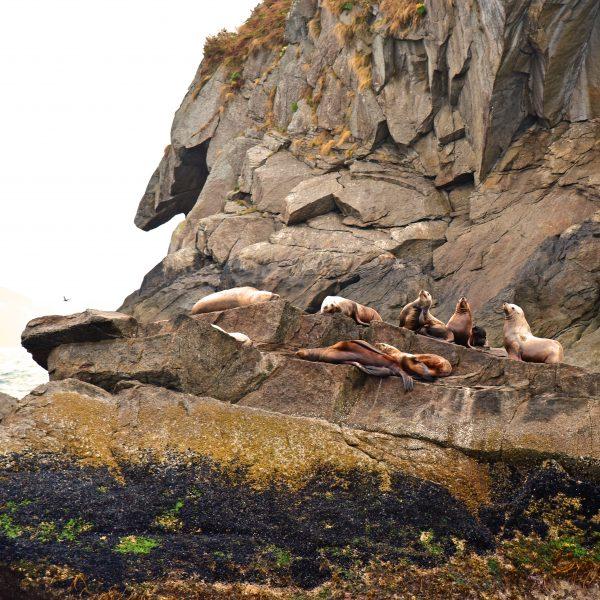 Seehunde im Kenai-Fjords-Nationalpark
