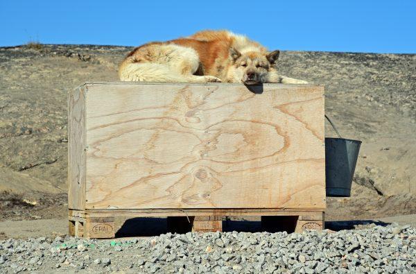 Ein Grönlandhund in Ilulissat