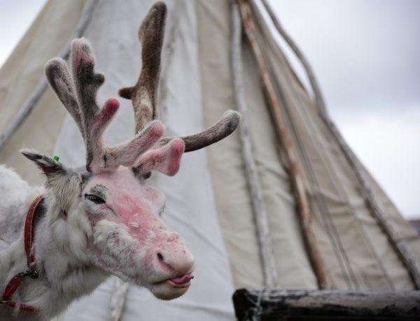 Ein Rentier am Nordkap
