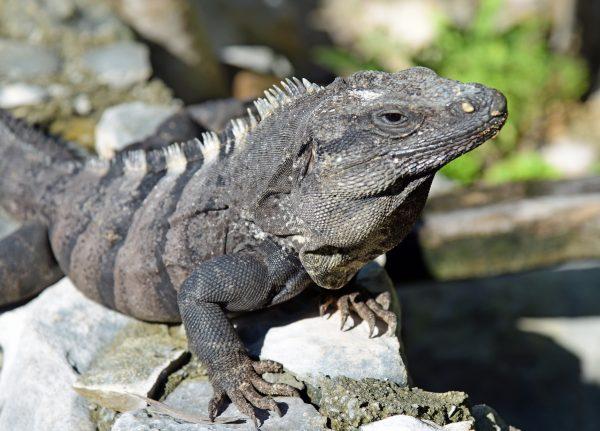 Iguana in Cozumel