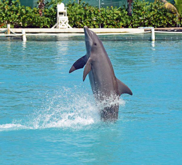 Delfine-Show auf Grand Cayman