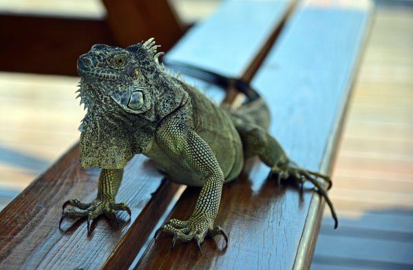 Ein Iguana auf Grand Cayman