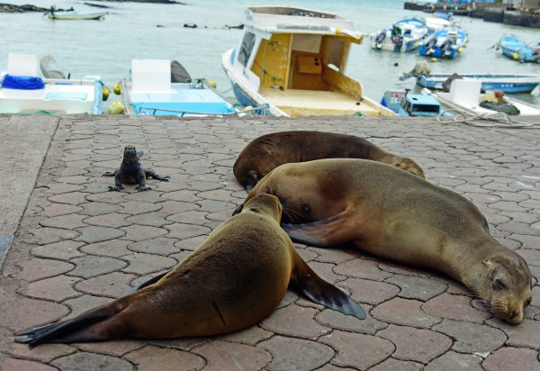 Meine erste Galapagos-Echse mit Seehunde