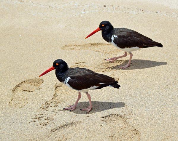 Vögel am Strand von Bartolomé