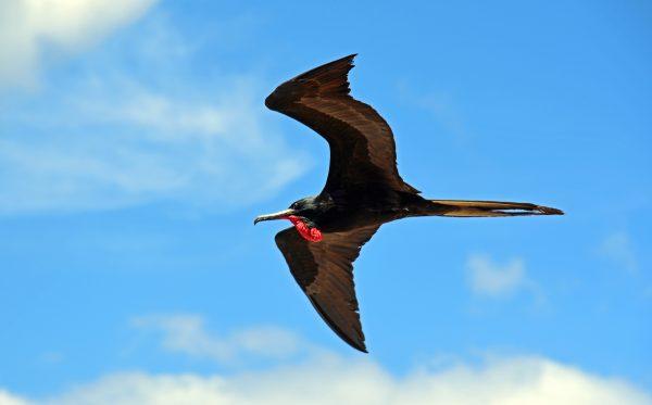 Männlicher Fregattvogel