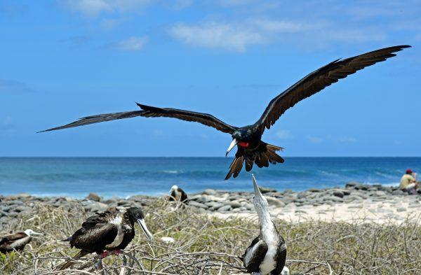 Fregattvogel-Angriff