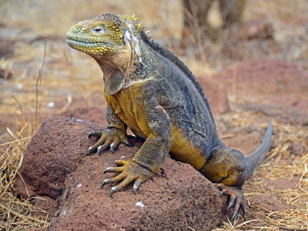 Galapagos-Echse