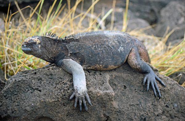 Iguana in San Cristobal