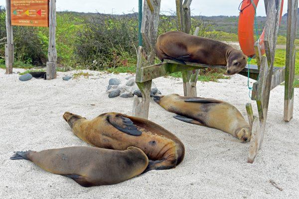 Seehunde in San Cristobal