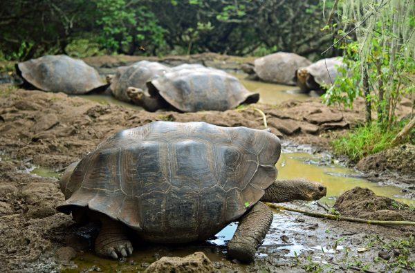 Landschildkröten in San Cristobal