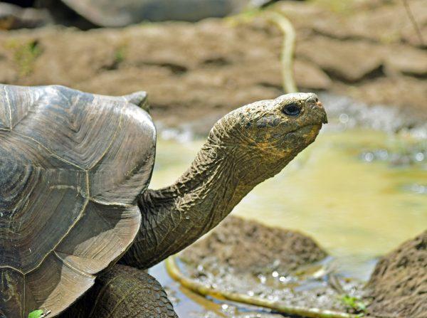 Landschildkröte in San Cristobal