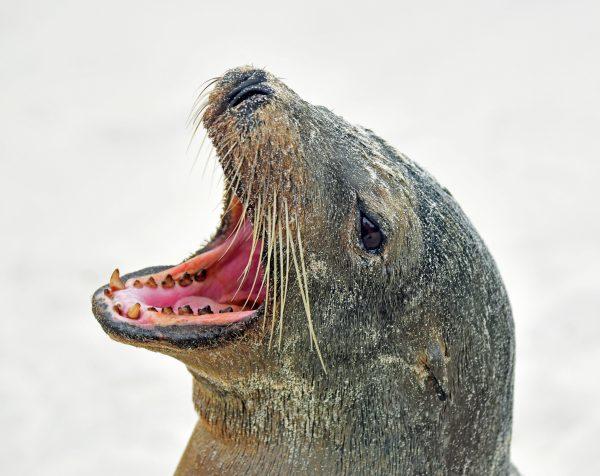 Ein Seehund in San Cristobal