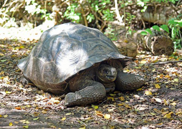Riesenschildkröte in Isabella