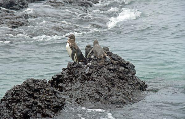 Pinguine in Isabella