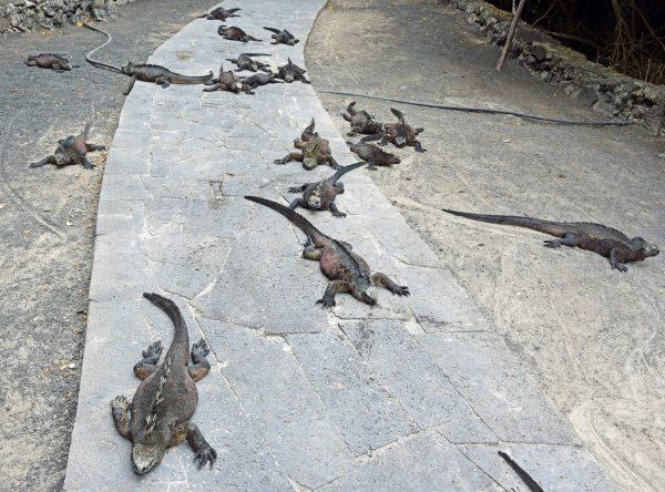 Iguanas in Isabella