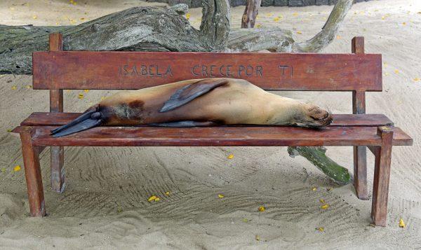 Seehund in Isabella