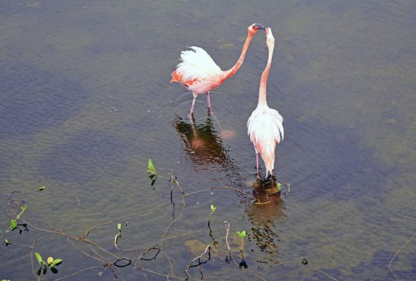 Flamingos in Isabella