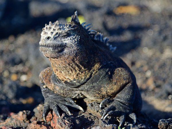 Iguana in Isabella