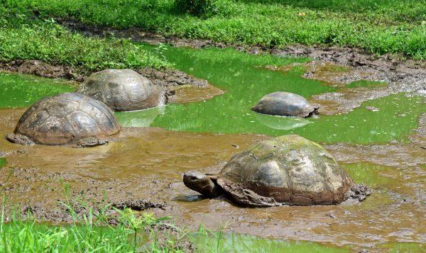 Schildkröten auf Galapagos im Reservat 'El Chat'