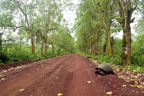 Schildkröte auf Galapagos im Reservat 'El Chat'