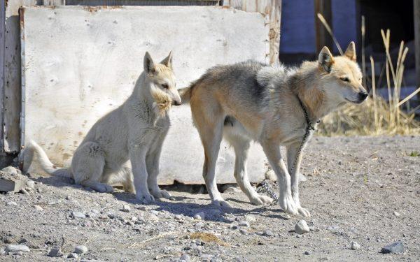 Hundies in Kangerlussuaq