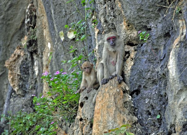 Affen am Wachiralongkorn Damm