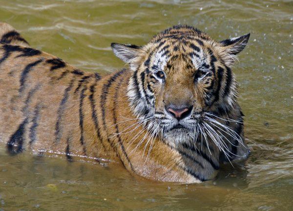 Ein Tiger im Indochinese Tiger Conservation Project