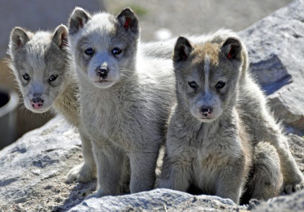 Kleine Grönlandhundies in Uummannaq
