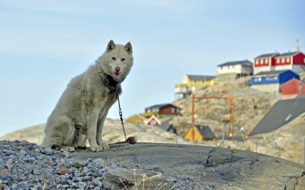 Ein Grönlandhund in Uummannaq