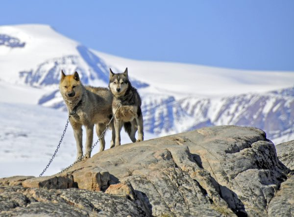 Grönlandhunde in Uummannaq