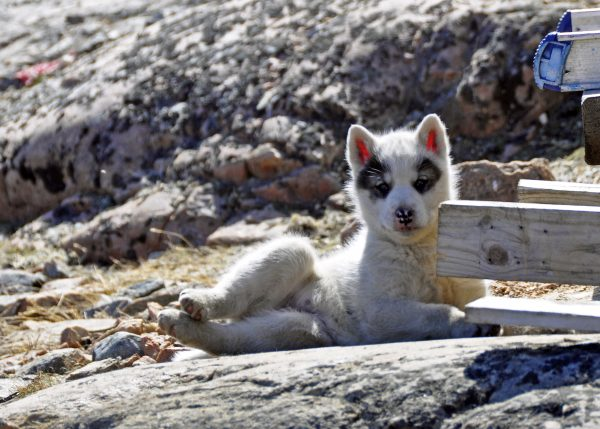 Ein kleiner Grönlandhund in Uummannaq