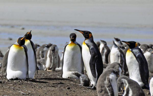 Königspinguine in der Lagoon Bluff Cove auf Falkland