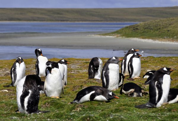 Eselspinguine in der Lagoon Bluff Cove auf Falkland