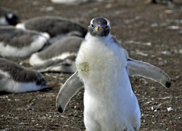 Der Pinguin wünscht 'Auf Wiedersehen Zinni'