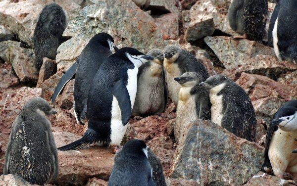 Pinguinschule auf Half Moon Island