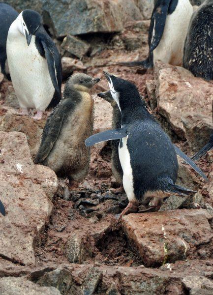 Pinguine mit Küken auf Half Moon Island