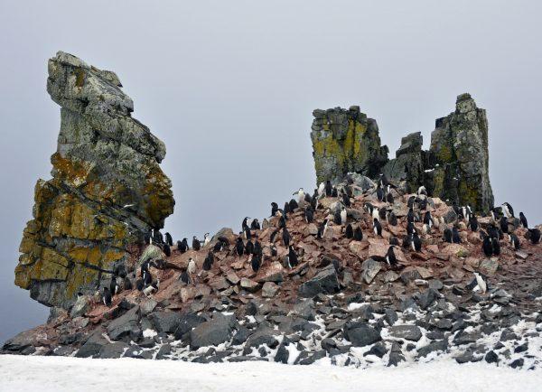 Pinguine auf Half Moon Island