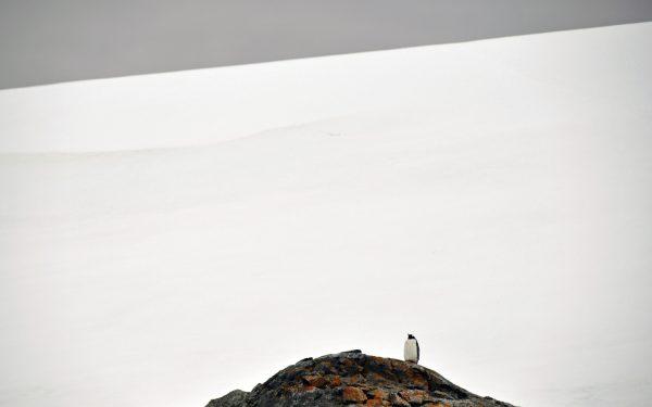 Pinguin auf der Petermann Insel