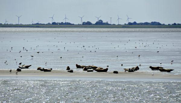 Eine Robbenbank nahe Bremerhaven