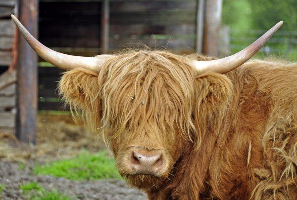 Ein Hochlandrind aus Schottland muss mal zum Friseur