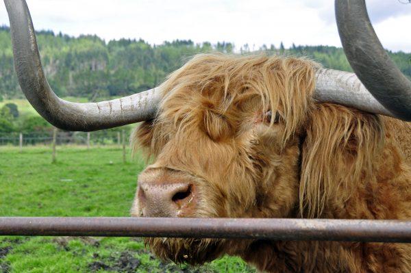 Highland Cattle (schottisches Hochlandrind)