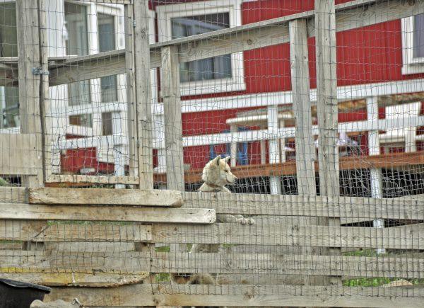 Ein Wachhund in Sisimiut