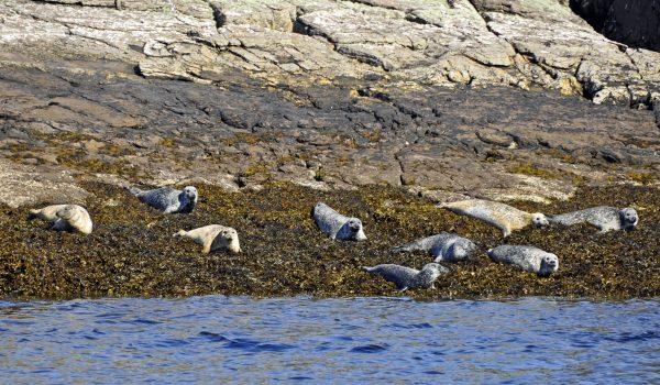 Robben auf den Summer Islands / Schottland