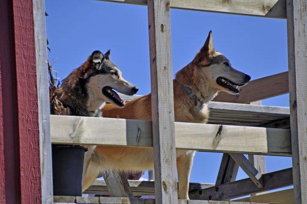 Hundies in Nuuk