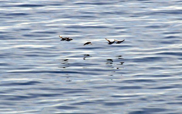 Vögel im Hamilton Inlet